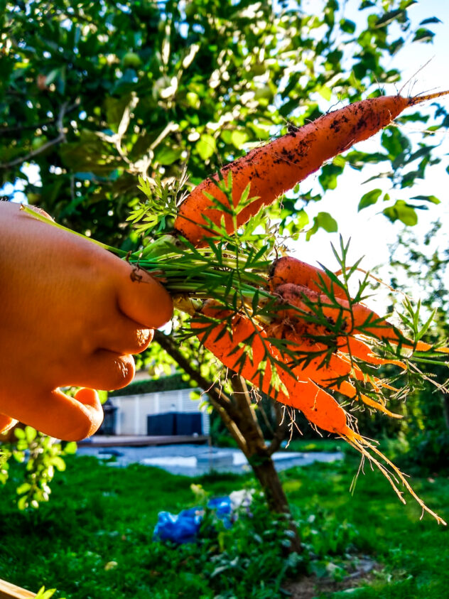 Suomalaisia porkkanoita